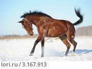 Гнедая лошадь бегает на поле зимой. Стоковое фото, фотограф Антонова Виктория Юрьевна / Фотобанк Лори