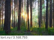 Купить «Утро в сосновом лесу», фото № 3168793, снято 19 июня 2010 г. (c) vlntn / Фотобанк Лори