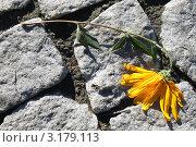 Брошенный цветок. Стоковое фото, фотограф Буздина Александра / Фотобанк Лори