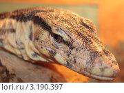 Варан. Стоковое фото, фотограф Павел Шишкин / Фотобанк Лори