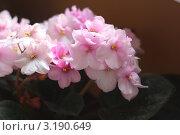 Фиалки розовые. Стоковое фото, фотограф Дарья Трегубова / Фотобанк Лори