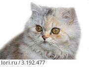 Купить «Персидская кошка крупным планом на белом фоне», фото № 3192477, снято 26 октября 2010 г. (c) Олег Хархан / Фотобанк Лори