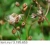 Купить «Семянка скерды болотной (Crepis paludosa) на семенных коробочках Кукушкина горицвета (Соrоnаriа Flоs сuсuli)», эксклюзивное фото № 3195653, снято 5 июля 2010 г. (c) Алёшина Оксана / Фотобанк Лори