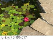 Кувшинка гибридная малиново-красная. Стоковое фото, фотограф Титова Елена / Фотобанк Лори