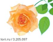 Оранжевая роза. Стоковое фото, фотограф Olsi / Фотобанк Лори