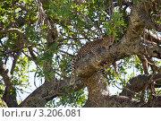Леопард на дереве. Стоковое фото, фотограф Дмитрий Краснов / Фотобанк Лори