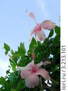 Купить «Цветы Гибискуса(Hibiscus rosa sinensis Malvaceae)», эксклюзивное фото № 3213101, снято 24 января 2012 г. (c) Svet / Фотобанк Лори