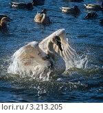 Купить «Лебедь, расправляющий крылья», фото № 3213205, снято 3 февраля 2009 г. (c) Татьяна Белова / Фотобанк Лори