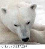 Купить «Белый медведь. Портрет», фото № 3217297, снято 3 февраля 2009 г. (c) Татьяна Белова / Фотобанк Лори