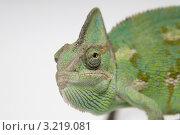 Портрет хамелеона. Стоковое фото, фотограф Артем Свистун / Фотобанк Лори