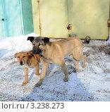 Купить «Бездомные собаки на территории Гаражно-строительный кооператив (ГСК)», фото № 3238273, снято 9 февраля 2012 г. (c) Олег Пчелов / Фотобанк Лори