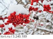 Купить «Ягоды калины под снегом», эксклюзивное фото № 3240189, снято 4 января 2012 г. (c) Елена Коромыслова / Фотобанк Лори