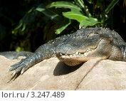 Крокодил. Стоковое фото, фотограф Олеся Довженко / Фотобанк Лори