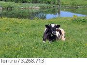 Корова на лугу. Стоковое фото, фотограф Владимир ГОРОВЫХ / Фотобанк Лори