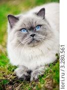 Голубоглазая кошка. Стоковое фото, фотограф Olsi / Фотобанк Лори