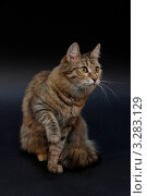 Купить «Кошка», фото № 3283129, снято 20 февраля 2012 г. (c) Тихомирова Ольга / Фотобанк Лори