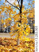 Осенний клен. Стоковое фото, фотограф Маргарита Смирнова / Фотобанк Лори