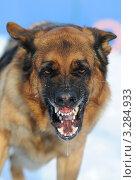 Собака породы немецкая овчарка злится и скалится. Стоковое фото, фотограф Антонова Виктория Юрьевна / Фотобанк Лори