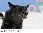Черная собака породы немецкая овчарка скалится. Стоковое фото, фотограф Антонова Виктория Юрьевна / Фотобанк Лори