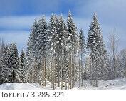 Купить «Волшебный зимний лес: заиндевевшие пихты», фото № 3285321, снято 24 февраля 2012 г. (c) Анна Мартынова / Фотобанк Лори