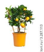 Купить «Мандариновое дерево в горшке», фото № 3287113, снято 4 июля 2010 г. (c) Фурсов Алексей / Фотобанк Лори