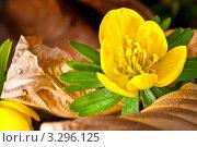 Купить «Жёлтый цветок аконита», фото № 3296125, снято 25 февраля 2012 г. (c) Аnna Ivanova / Фотобанк Лори