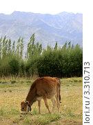 Купить «Пасущийся теленок», фото № 3310713, снято 4 сентября 2011 г. (c) Татьяна Белова / Фотобанк Лори