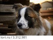 Собака. Стоковое фото, фотограф Виталий Галямов / Фотобанк Лори