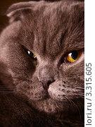 Морда серого британского вислоухого кота. Стоковое фото, фотограф Ирина Уйбапу / Фотобанк Лори