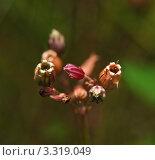 Купить «Семенные коробочки. Кукушкин горицвет (Соrоnаriа Flоs сuсuli)», эксклюзивное фото № 3319049, снято 5 июля 2010 г. (c) Алёшина Оксана / Фотобанк Лори
