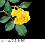 Купить «Желтая роза (rosa) на черном фоне», фото № 3319561, снято 21 августа 2011 г. (c) Алёшина Оксана / Фотобанк Лори