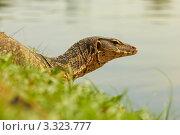 Варан в зеленой траве на берегу. Стоковое фото, фотограф Виктор Савушкин / Фотобанк Лори