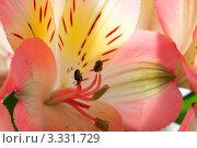 Розовая альстромерия крупным планом. Стоковое фото, фотограф Алла Ушакова / Фотобанк Лори
