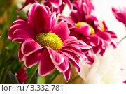 Розовый хризантемы крупным планом. Стоковое фото, фотограф Алла Ушакова / Фотобанк Лори