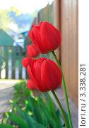 Красные тюльпаны под стеной сельского дома. Стоковое фото, фотограф UladzimiR / Фотобанк Лори