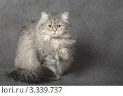 Купить «Кошка на сером фоне», фото № 3339737, снято 14 декабря 2008 г. (c) Михаил Ястребов / Фотобанк Лори