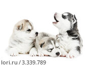 Купить «Три щенка сибирского хаски на белом фоне», фото № 3339789, снято 14 января 2012 г. (c) Дмитрий Калиновский / Фотобанк Лори
