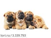 Купить «Четыре щенка породы шарпей на белом фоне», фото № 3339793, снято 23 марта 2010 г. (c) Дмитрий Калиновский / Фотобанк Лори