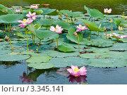 Купить «Цветущий лотос», фото № 3345141, снято 6 августа 2011 г. (c) Руднева Ольга / Фотобанк Лори