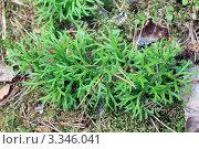 Дифазиаструм (плаун) уплощённый - Diphasiastrum complanatum. Стоковое фото, фотограф Буздина Александра / Фотобанк Лори