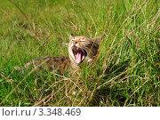 Купить «Зевающий котенок в траве», фото № 3348469, снято 11 сентября 2009 г. (c) Татьяна Кахилл / Фотобанк Лори