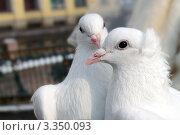 Купить «Два белых голубя. Голубь и голубка.», фото № 3350093, снято 22 февраля 2009 г. (c) Светлана Кудрина / Фотобанк Лори