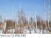 Купить «Засохший зимний лес», фото № 3356545, снято 3 марта 2012 г. (c) Александр Тараканов / Фотобанк Лори