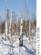 Купить «Засохший зимний лес», фото № 3357545, снято 3 марта 2012 г. (c) Александр Тараканов / Фотобанк Лори