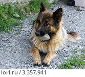 Собака с камнем в зубах. Стоковое фото, фотограф Павел Торхов / Фотобанк Лори