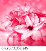 Купить «Розовый мокрый гиацинт крупным планом», фото № 3358245, снято 6 марта 2012 г. (c) ElenArt / Фотобанк Лори