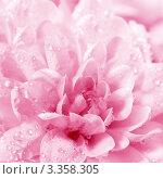 Купить «Цветок хризантема с каплями воды», фото № 3358305, снято 3 марта 2012 г. (c) ElenArt / Фотобанк Лори
