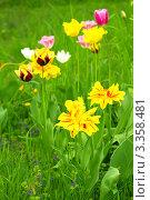 Купить «Цветение тюльпанов на клумбе весной», фото № 3358481, снято 12 мая 2011 г. (c) Sea Wave / Фотобанк Лори