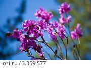 Цветущий байкальский багульник на фоне синего неба (лат.Rhododendron dauricum) Стоковое фото, фотограф Виктория Катьянова / Фотобанк Лори