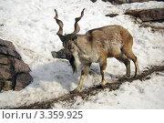 Купить «Винторогий козел в Московском зоопарке», фото № 3359925, снято 17 марта 2012 г. (c) Natalya Sidorova / Фотобанк Лори